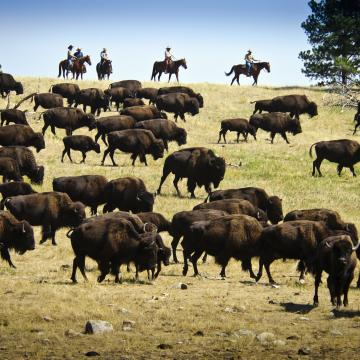 Custer State Park - Buffalo Herd