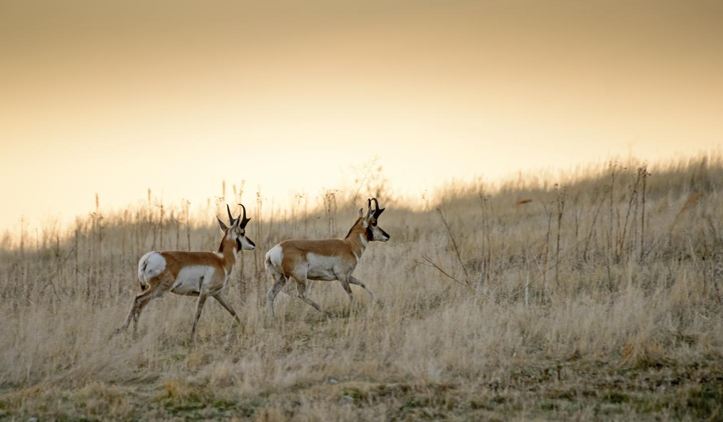 Pronghorn, Wind Cave National Park