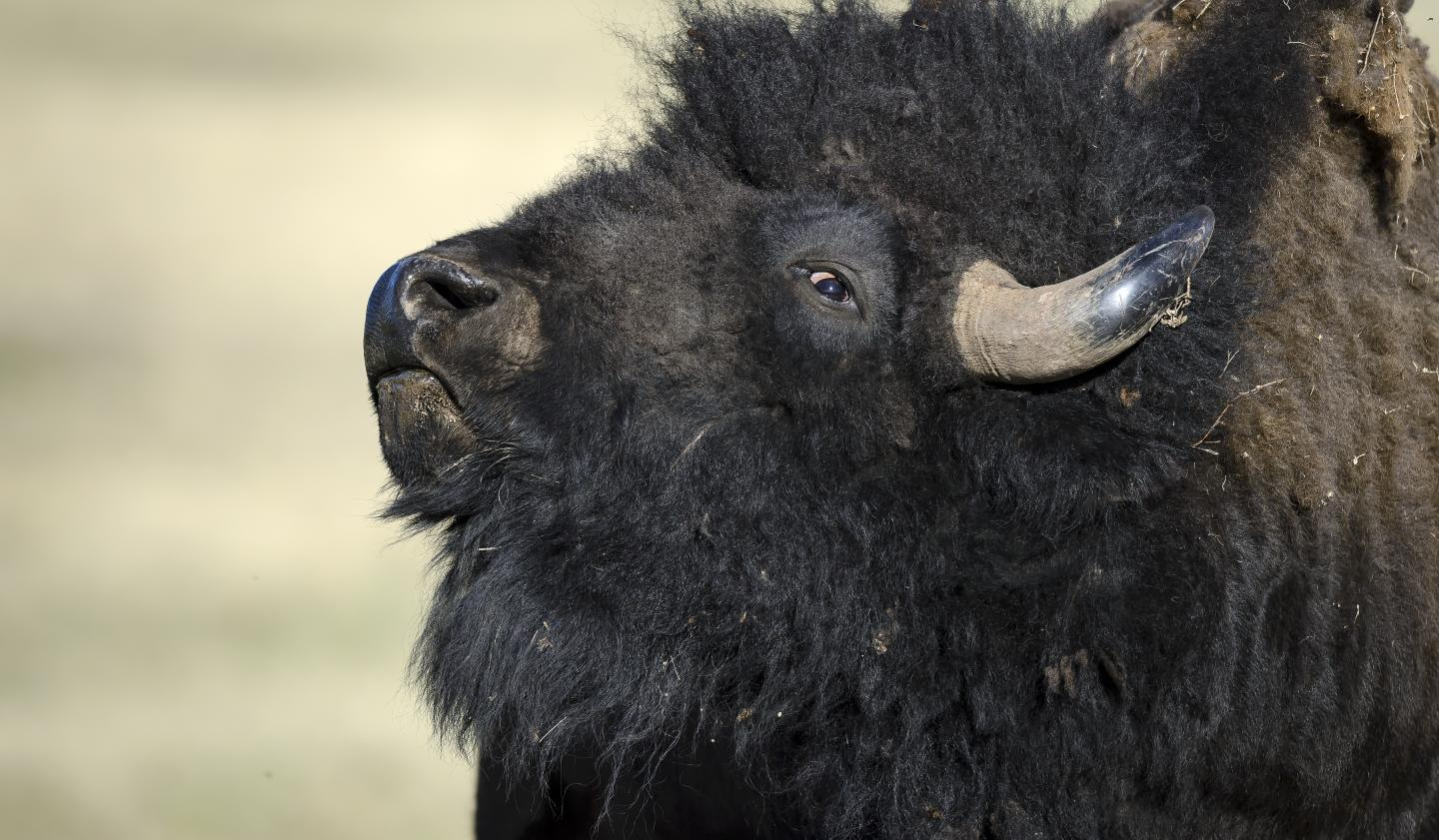 Bison, Wind Cave National Park