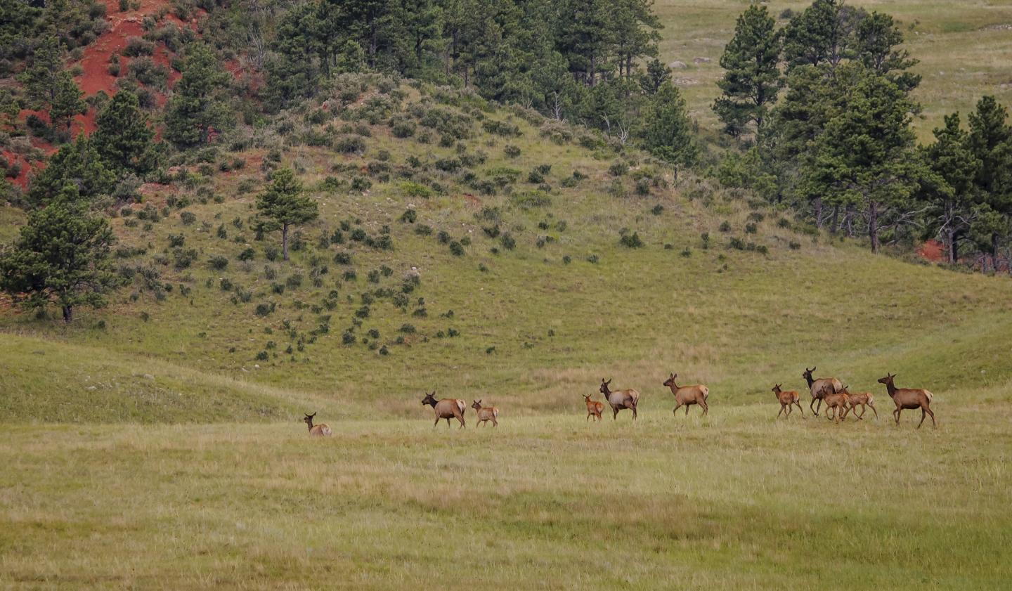 Elk, Wind Cave National Park