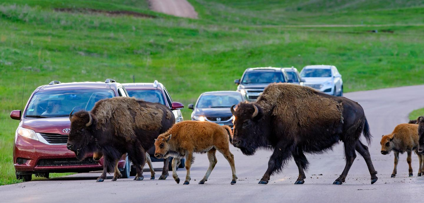 buffalo in road