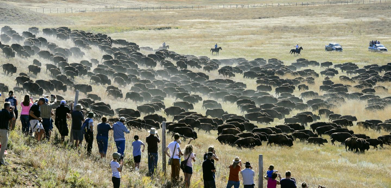 Custer state park buffalo roundup south dakota travel for South dakota game fish and parks fishing reports