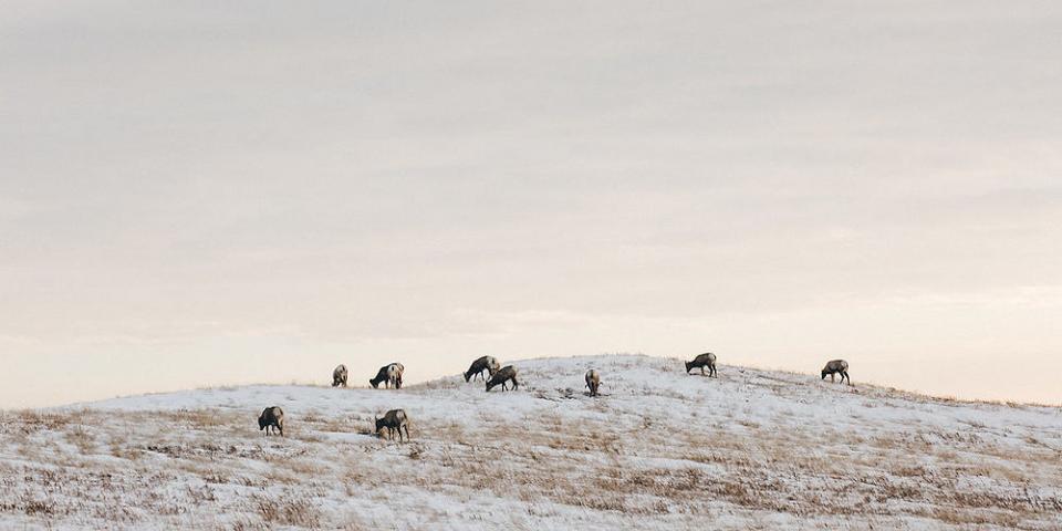 Badlands National Park, bighorn sheep