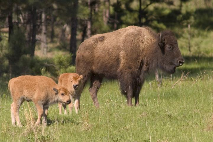 Bison, Custer State Park