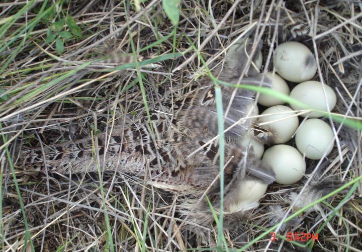 South Dakota pheasant nest